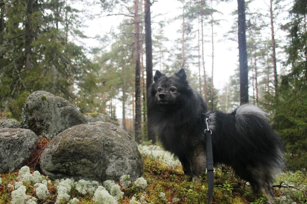 Unto-koira seisoo kiven päällä