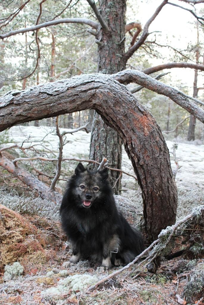 Unto-koira puun alla