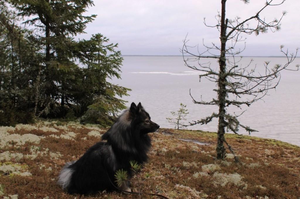 Unto-koira katselemassa Pyhäjärven maisemia
