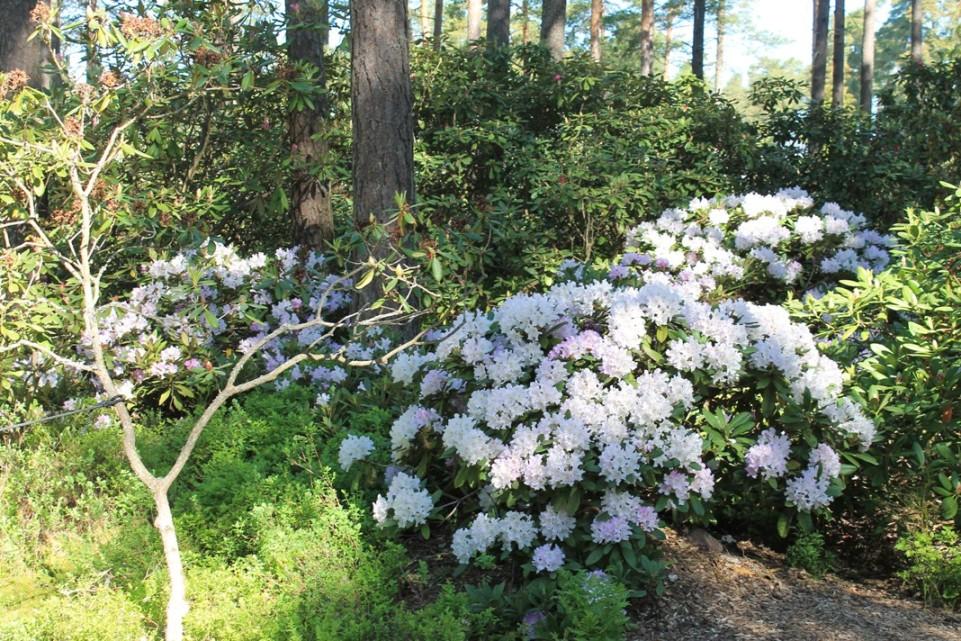 Raision Alppiruusupuiston kukkia