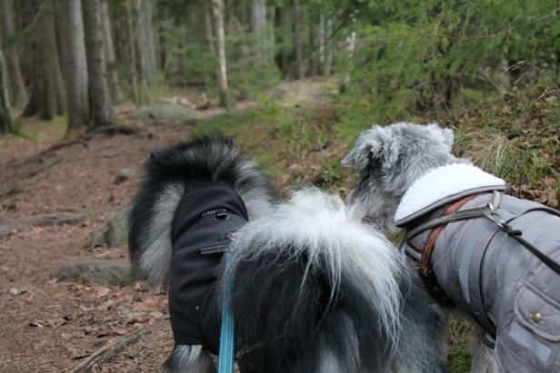 Mittelspitz Unto ja kääpiösnautseri Ilpo Littoistenjärven luontopolulla