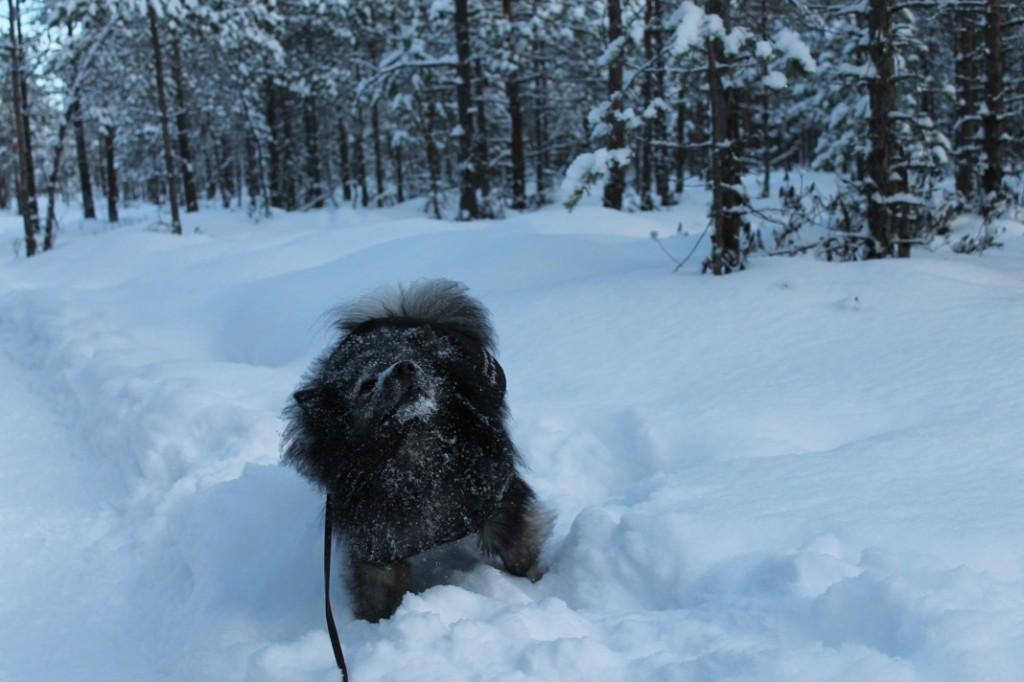 Mittelspitz leikkii lumessa