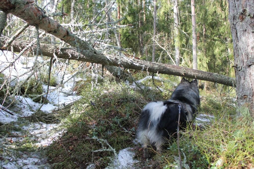Pamprinniemen luontopolulla kaatuneita puita