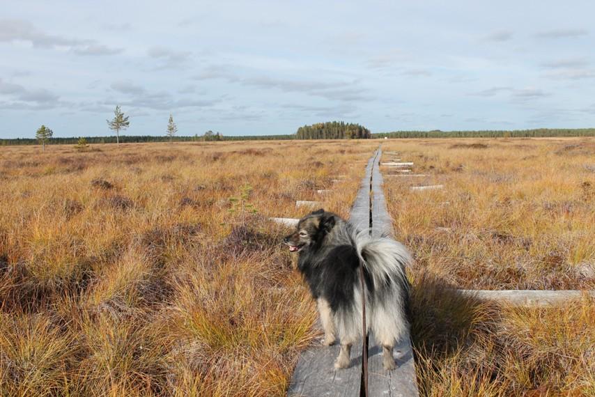 Mittelspitz ihailemassa suomaisemaa Pudasjärven Vitikkosaaren luontopolulla