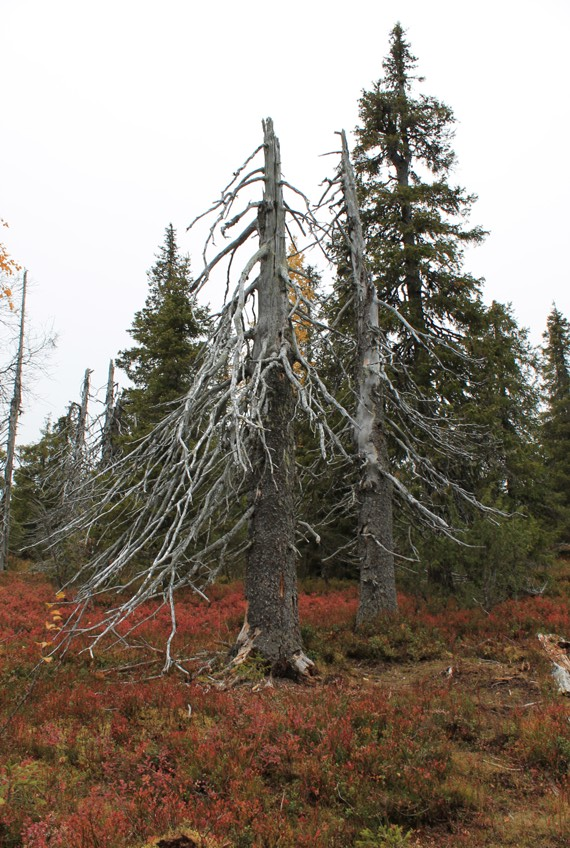 Riisitunturin puita